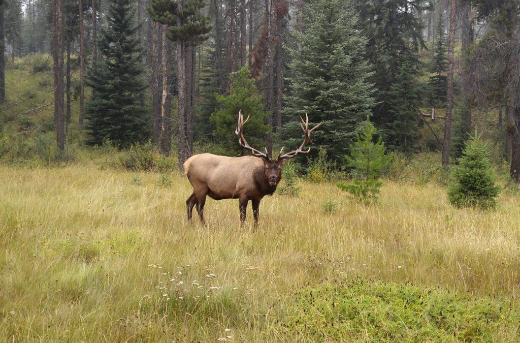 Wapiti (Elk)