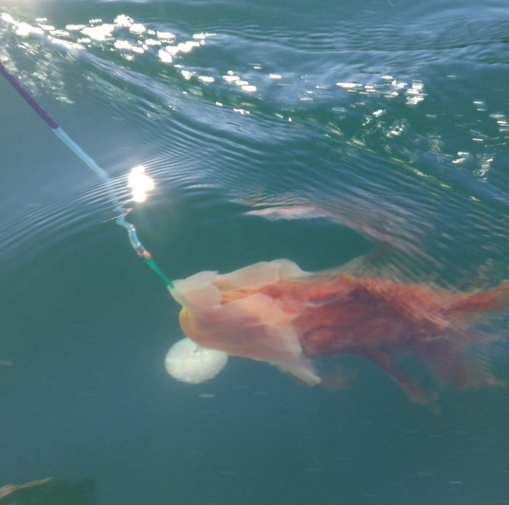 Jellyfish caught on downrigger line